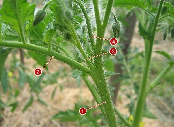 Пасынки на помидорах: удалять или оставлять?