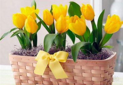 Когда сажать тюльпаны в домашних условиях