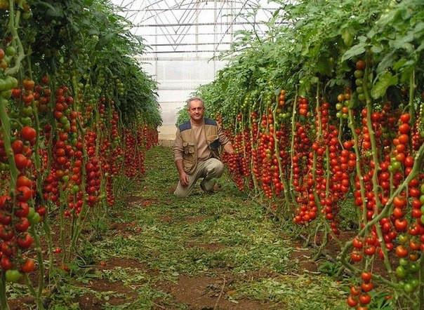 Как сажать томат хоровод 89