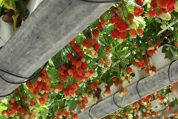 Выращивание клубники подвесной 43