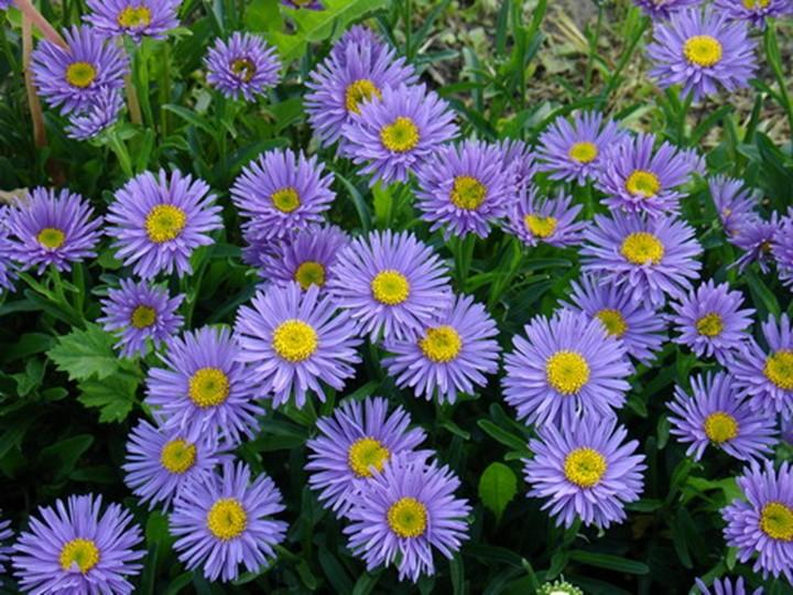 Астра альпийская многолетняя: выращивание из семян ...