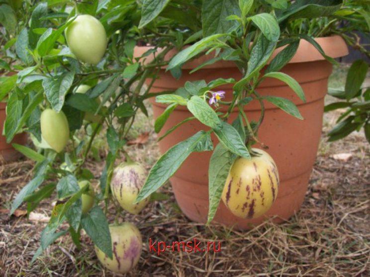 Пъпешово дърво Пепино  Сортови Семена и растителна защита
