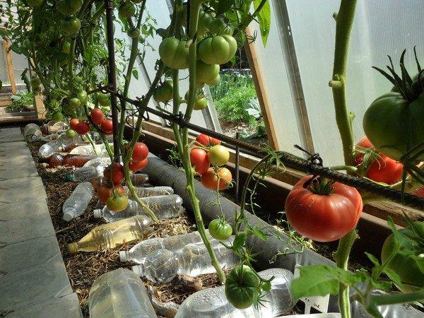 Метод выращивания томатов без полива 455